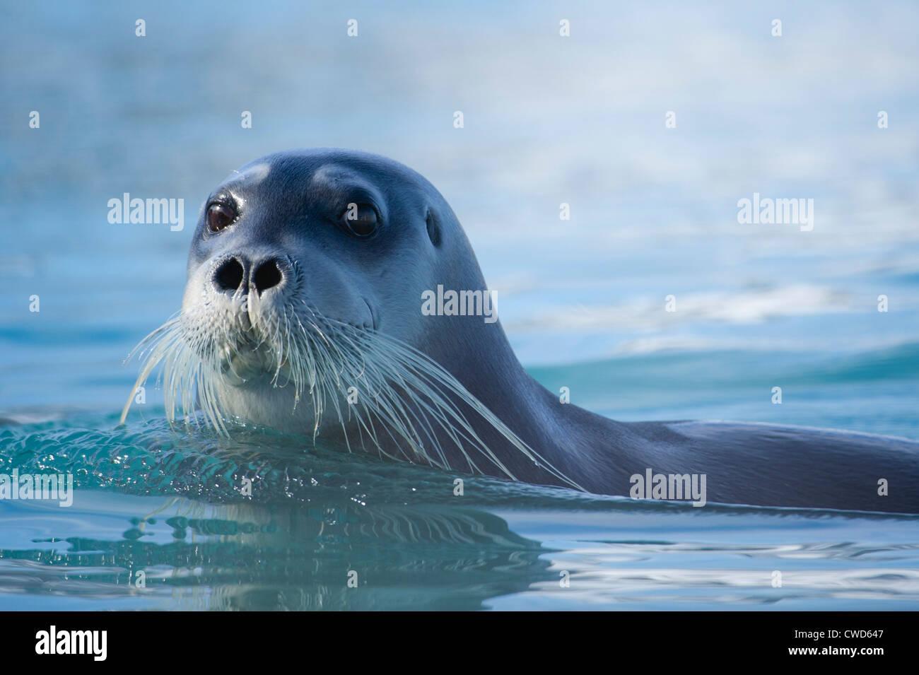 Bearded seal, Erignathus barbatus, Monaco glacier, Woodfjorden, Spitsbergen, Svalbard, Arctic - Stock Image