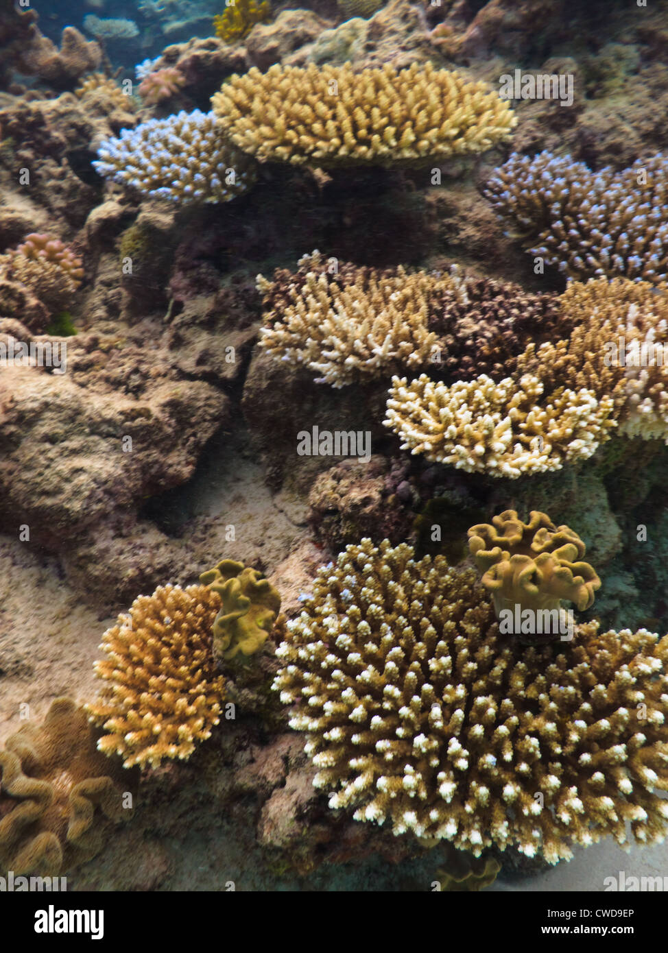 Varieties of hard stony coral, acropora cervicornis, colony building reef on Great Barrier Reef Australia - Stock Image