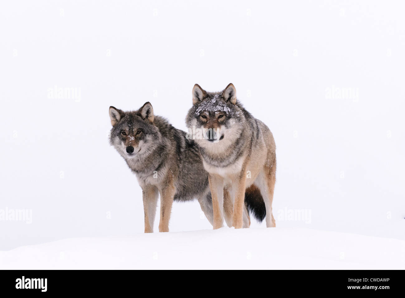 Two wolves on a snow hill in Polar Zoo, Bardu, Norway - Stock Image