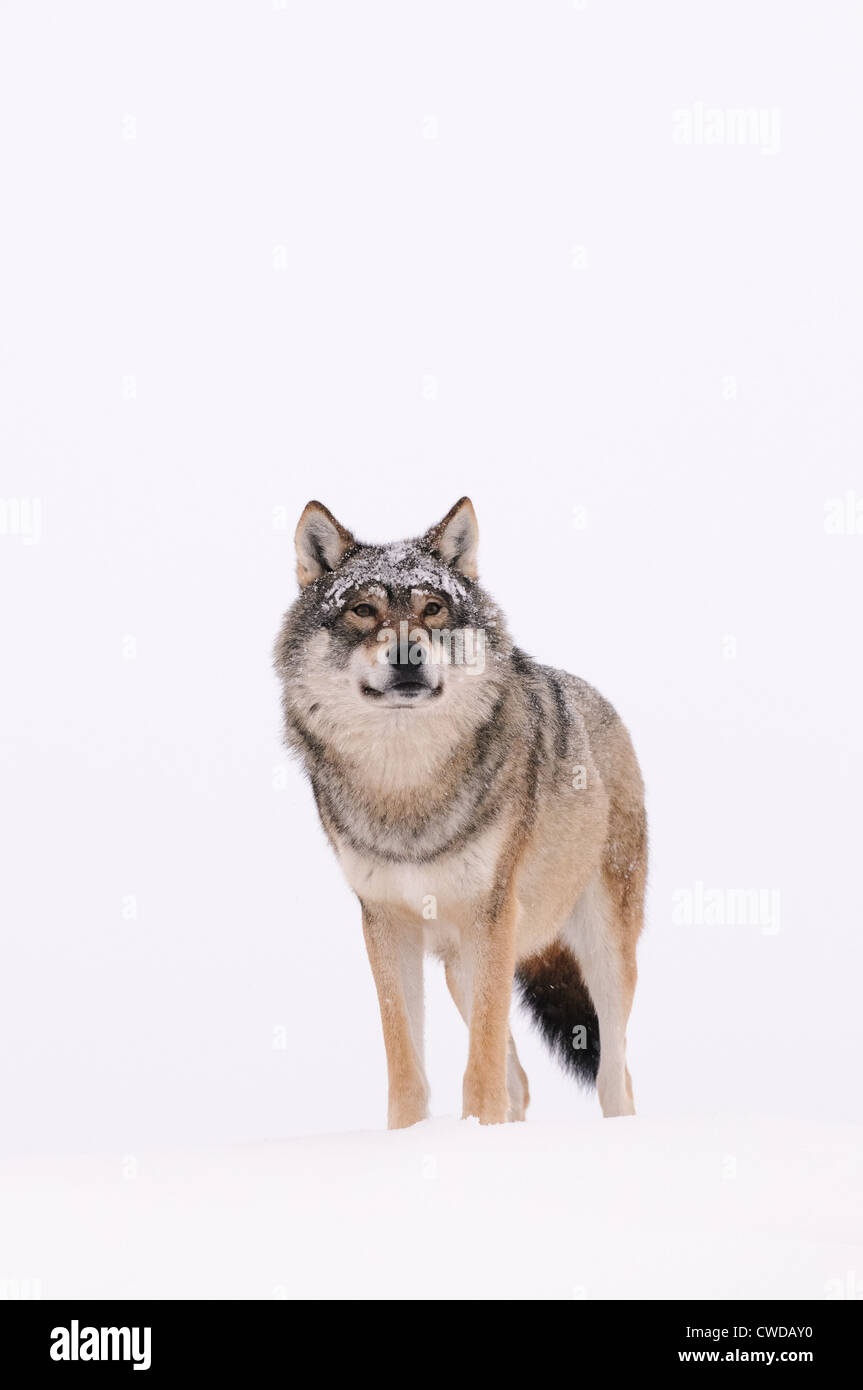 Wolf in snow - Stock Image