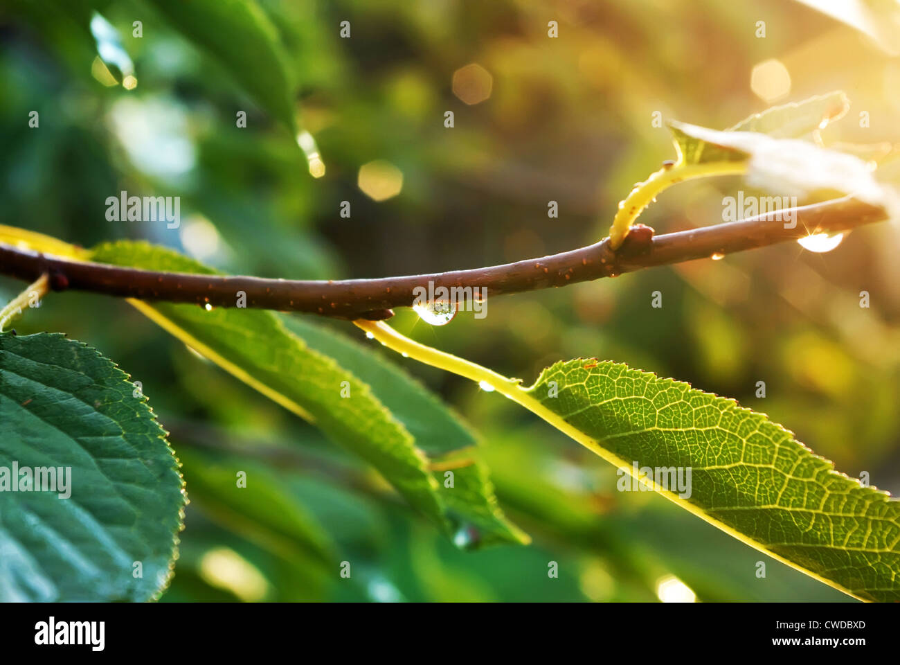 Branch with waterdrop - Stock Image