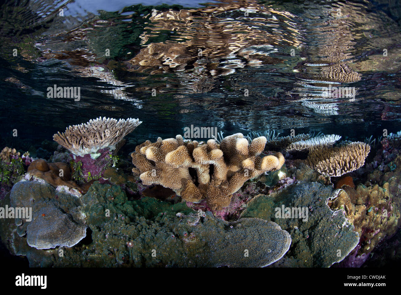 Mirrored in the surface, hard corals grow on a shallow reef flat.  These coral colonies provide habitat for small - Stock Image