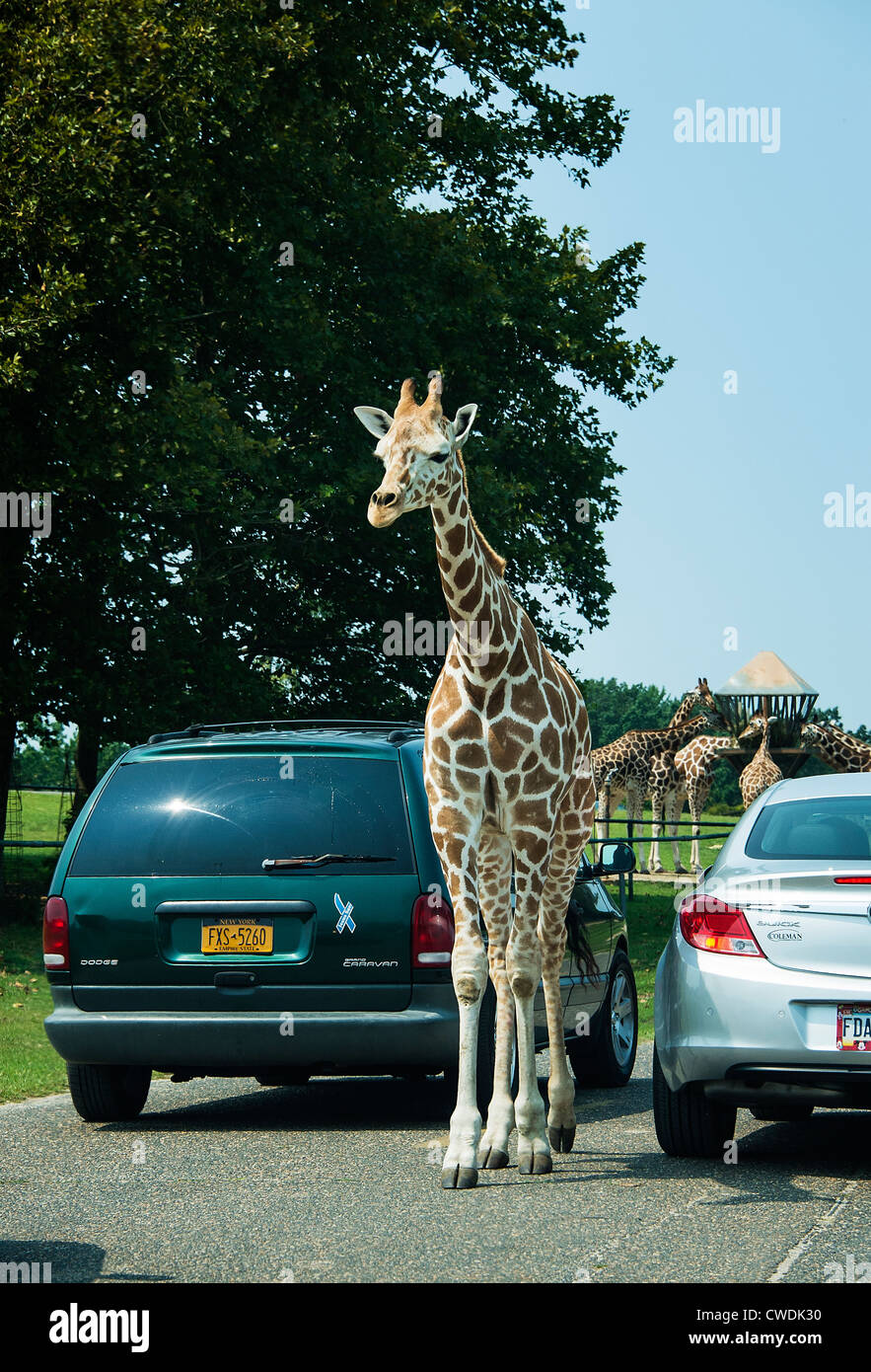 Giraffe greeting park visitors, Safari, Six Flags, New Jersey, USA - Stock Image