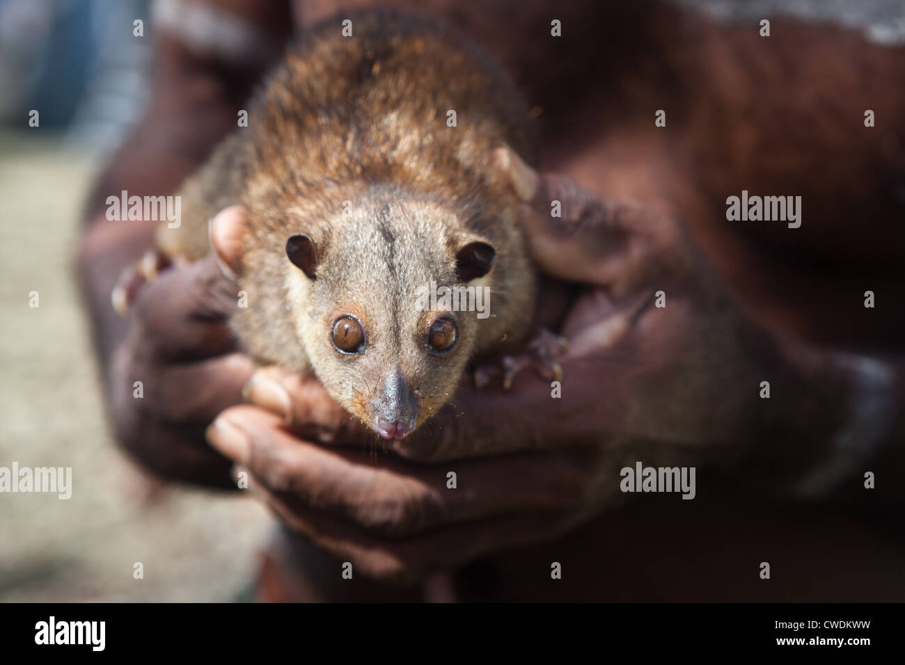 A common spotted cuscus, Spilocuscus maculatus, is a marsupial that lives around the Solomon Islands and New Guinea. - Stock Image