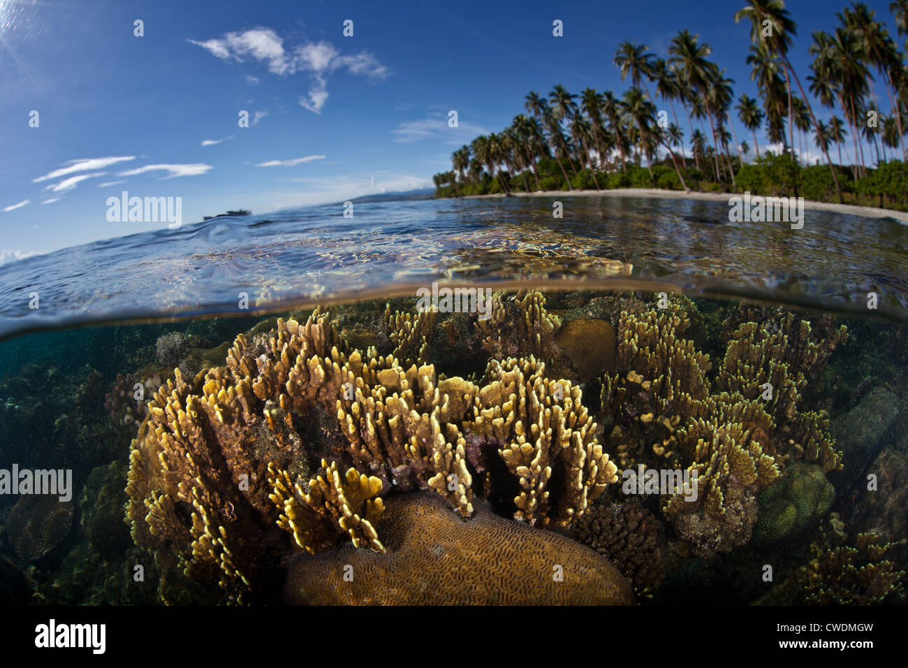 A colony of fire coral, Millipora sp., grows just under the low tide line near a white sand beach off Guadalcanal. - Stock Image