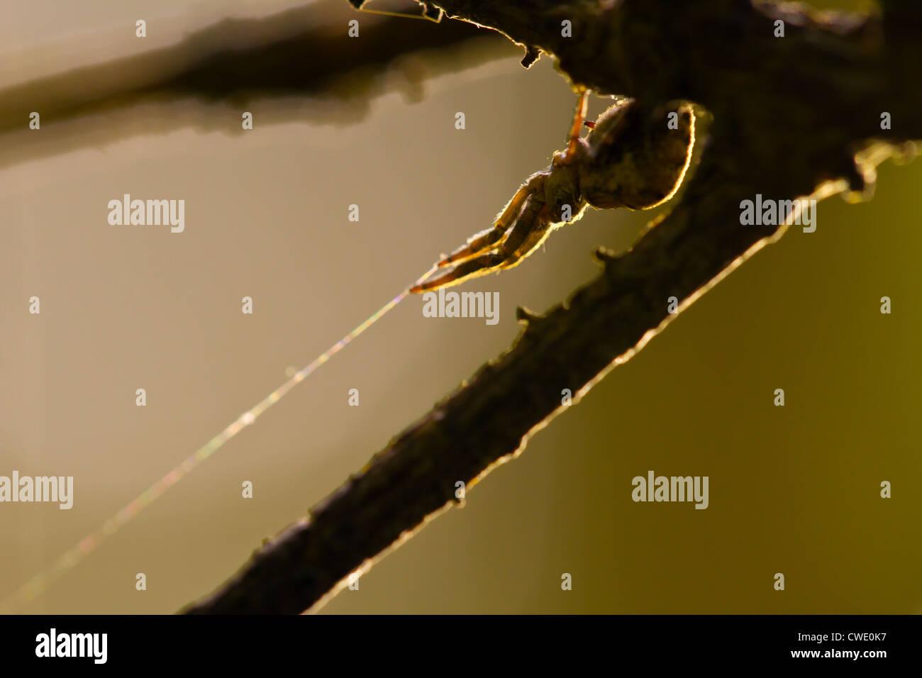 Hyptiotes paradoxus - the Triangle spider. One of few non-venomous European spiders. Part of the family Uloboridae. - Stock Image