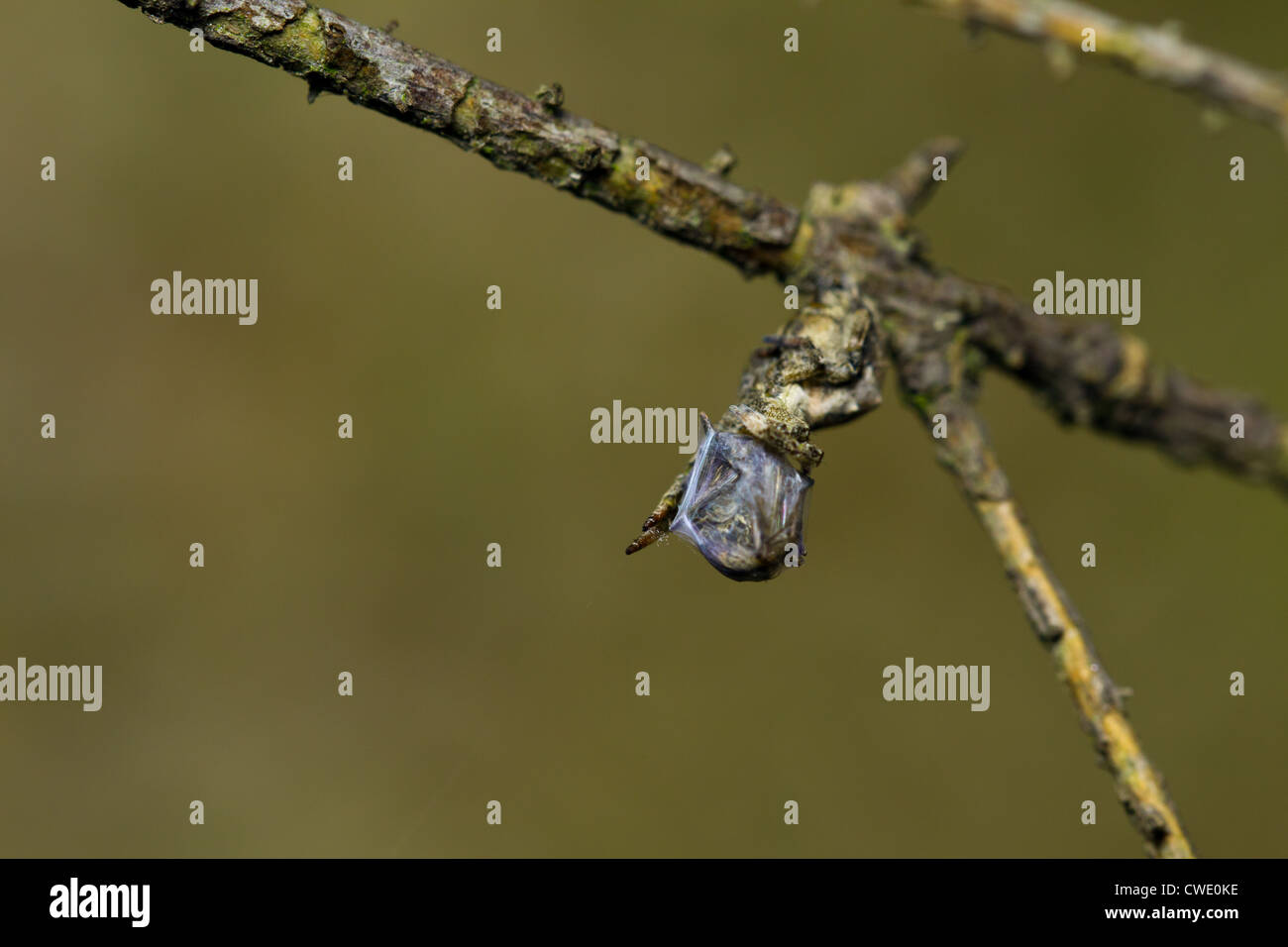 Hyptiotes paradoxus - the Triangle spider with its wrapped-up prey. One of few non-venomous European spiders. - Stock Image