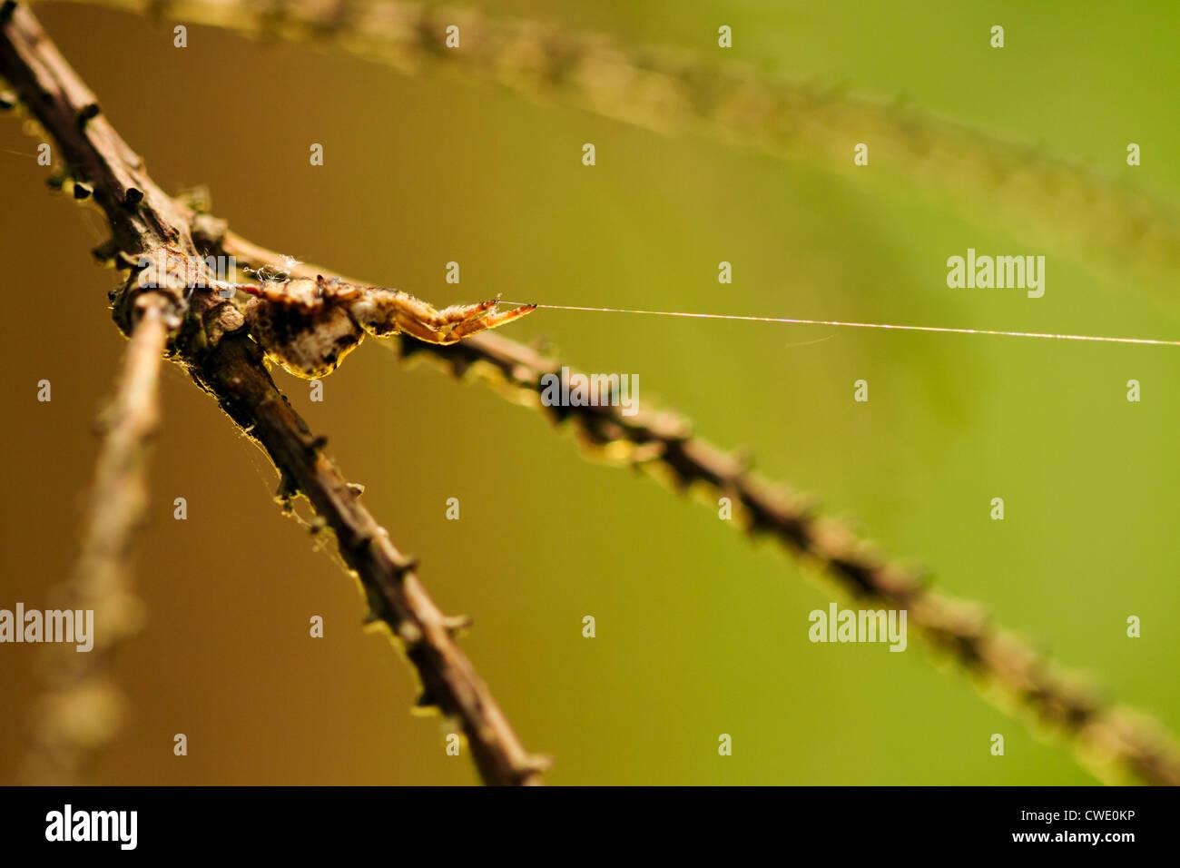 Hyptiotes paradoxus - the Triangle spider. One of few non-venomous European spiders. - Stock Image