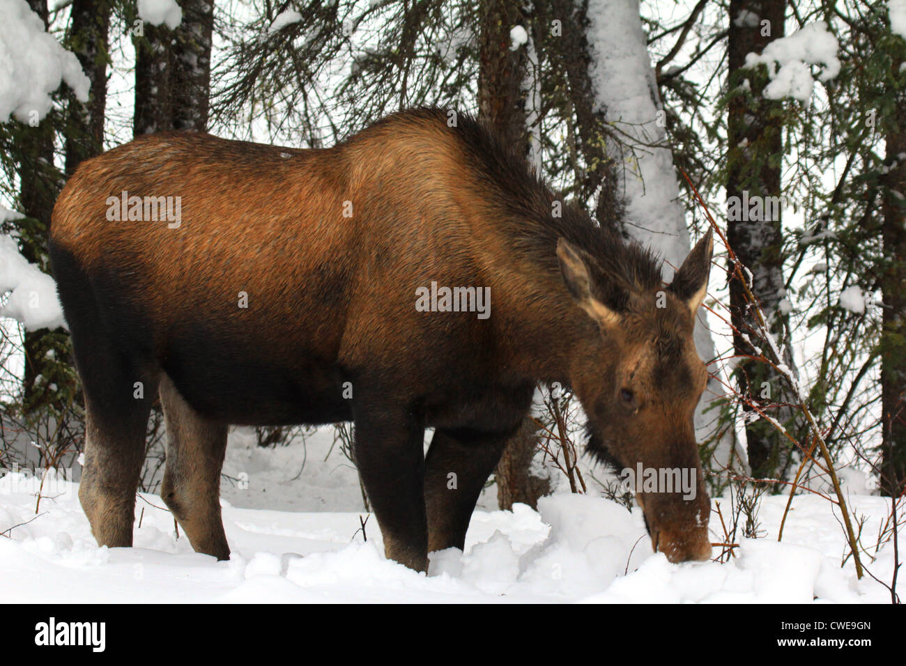 40,912.04259 Cow moose (Alces alces), a black and brown full-grown adult, browsing in the deep snow in a winter - Stock Image