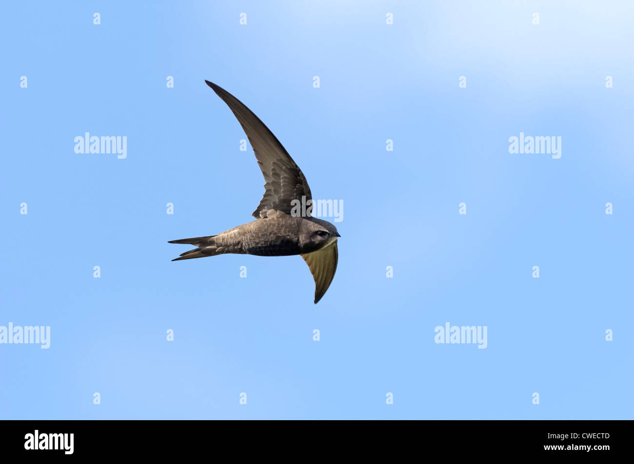 Common swift (Apus apus) in flight. Norfolk. May. - Stock Image