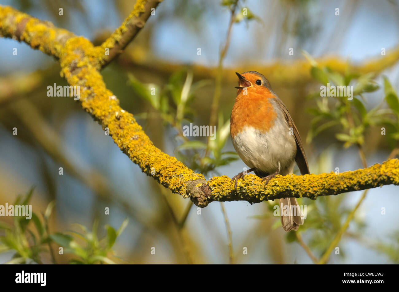 European robin (Erithacus rubecula) adult in song in spring. Cambridgeshire. May. - Stock Image