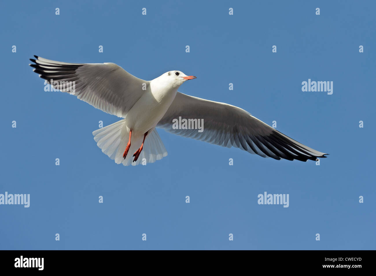 Black-headed gull (Larus ridibundus) winter plumage adult in flight. Norfolk. November. Stock Photo