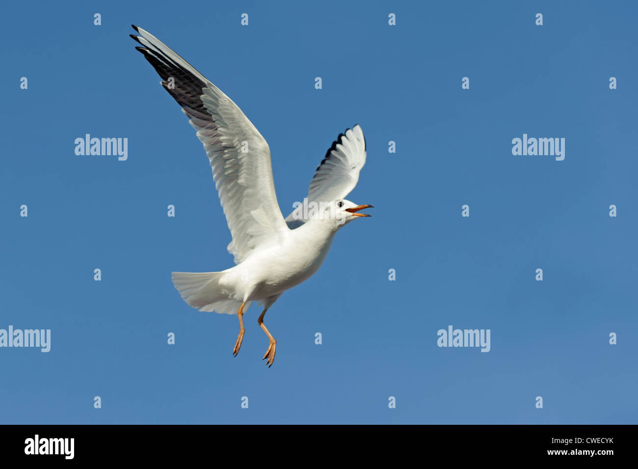Black-headed gull (Larus ridibundus) winter plumage adult in flight. Norfolk. November. - Stock Image