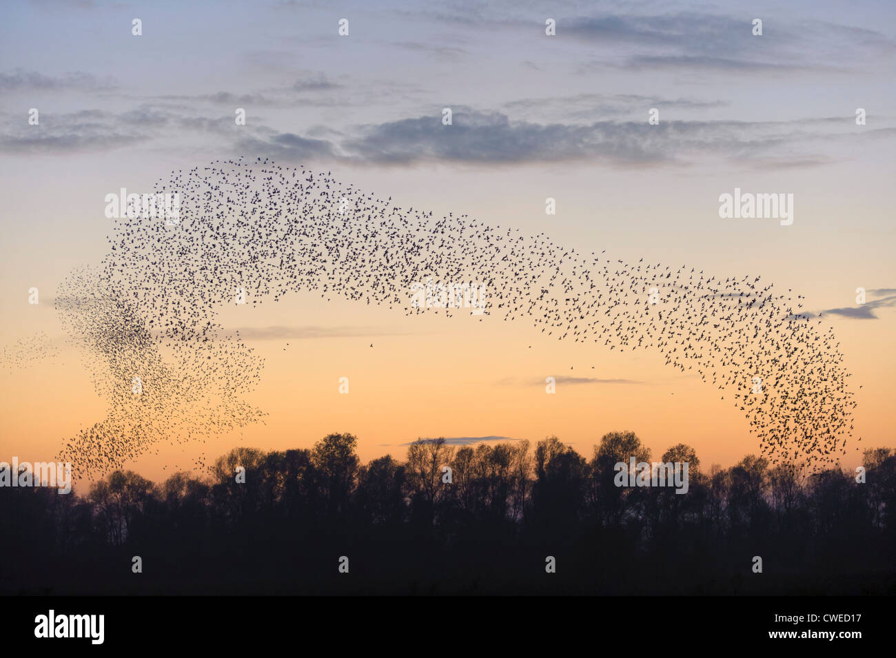Flock of common starlings (Sturnus vulgaris) assembling for roost at dusk. Fen Drayton RSPB reserve in Cambridgeshire. - Stock Image