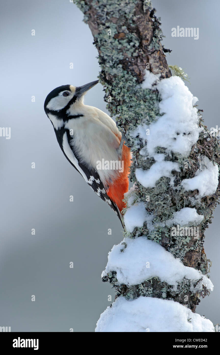Great spotted woodpecker (Dendrocopos major) adult female in winter. Speyside, Scotland. February. - Stock Image