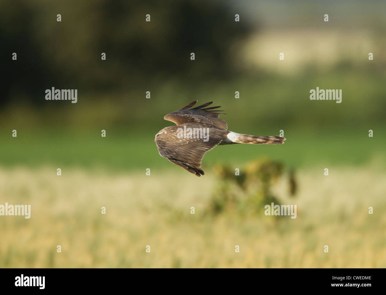 Hen Harrier female Circus cyaneus in flight hunting over fields for food - Stock Image