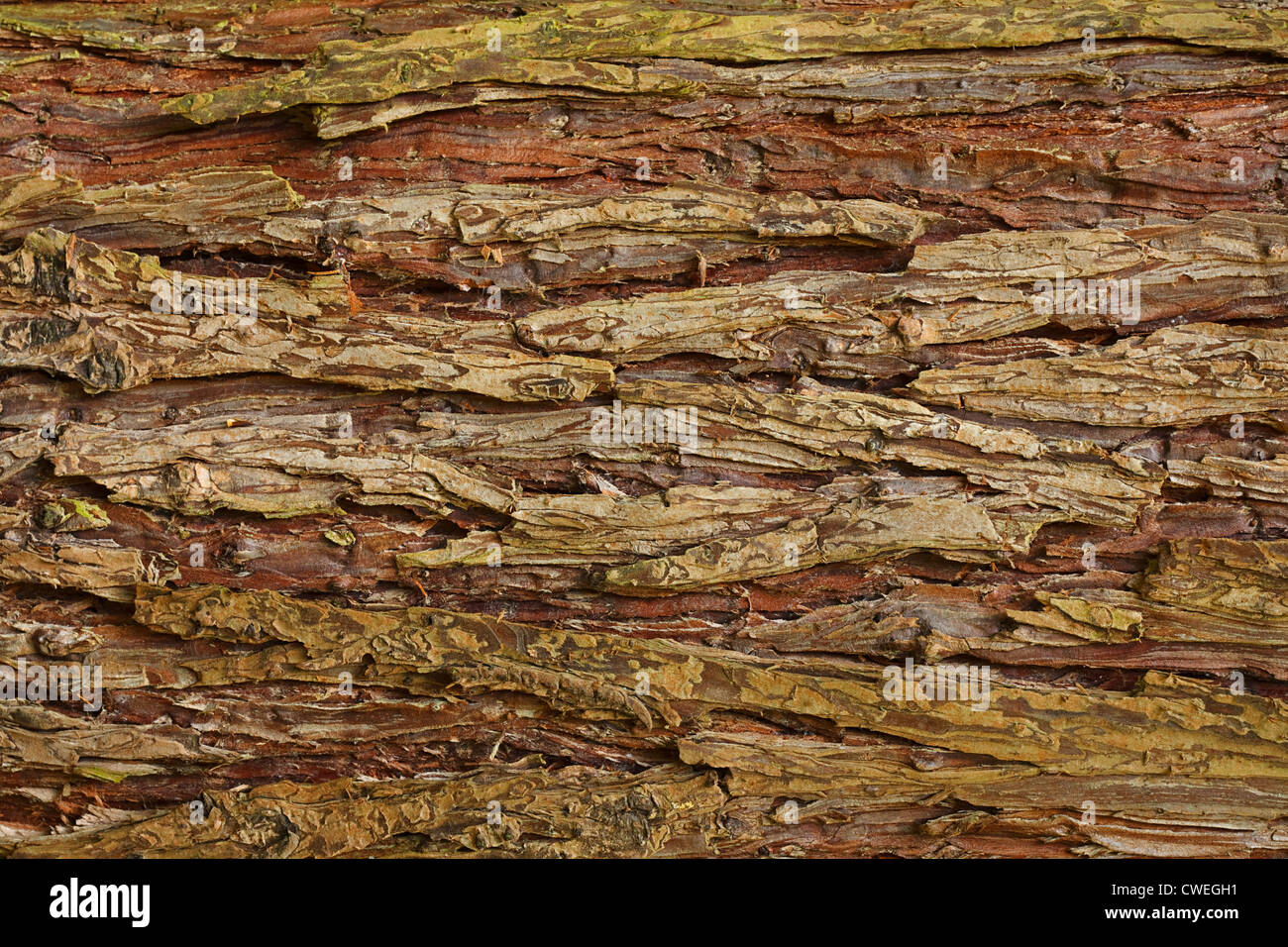 Cypress tree bark background showing relief and texture - Stock Image