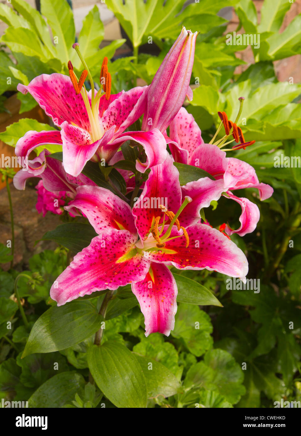 StarGazer Lily, three flowers and one unopened - Stock Image