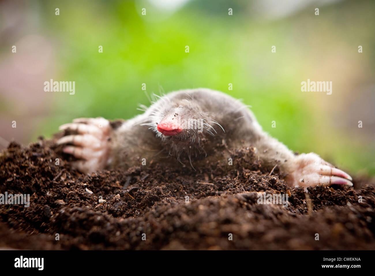 Close up of a european mole (Talpa europaea) emerging from a mole hill in a garden - Stock Image