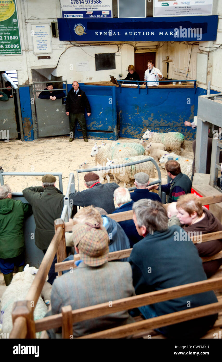 Kendal Auction Market Cumbria Sheep Day 15 May 2012 Stock Photo