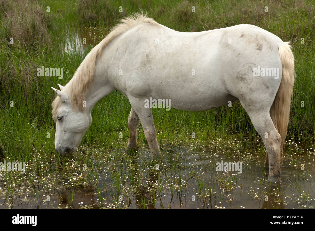 Camargue horse, Camargue, France - Stock Image