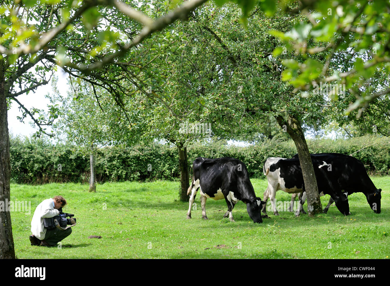 A cameraman filming friesian dairy cows grazing in an orchard, Somerset UK - Stock Image