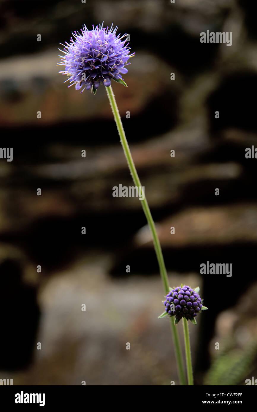 Devil's bit scabious flower - Stock Image