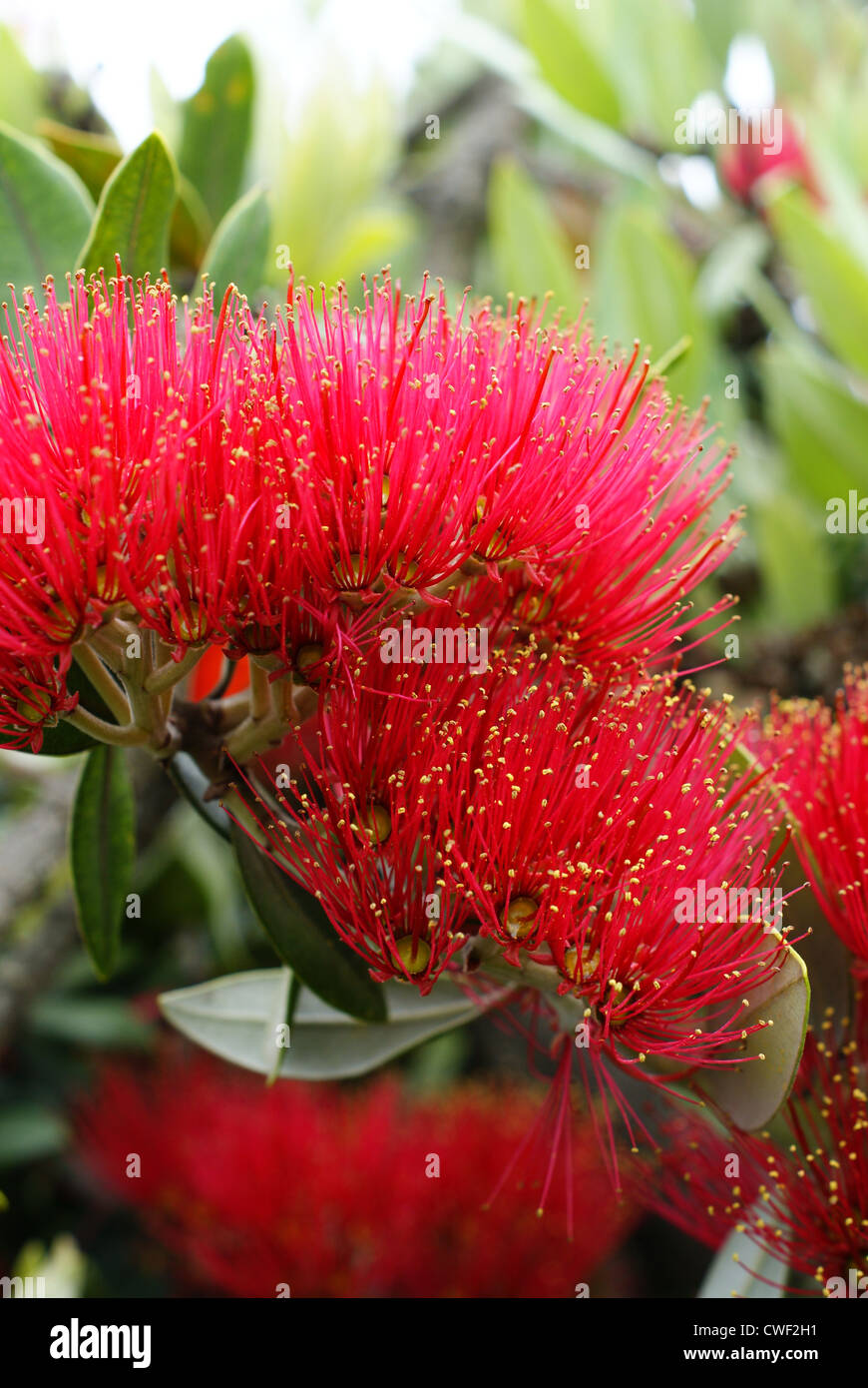Flowers of the Pohutukawa (Metrosideros excelsa) a native tree of New Zealand - Stock Image