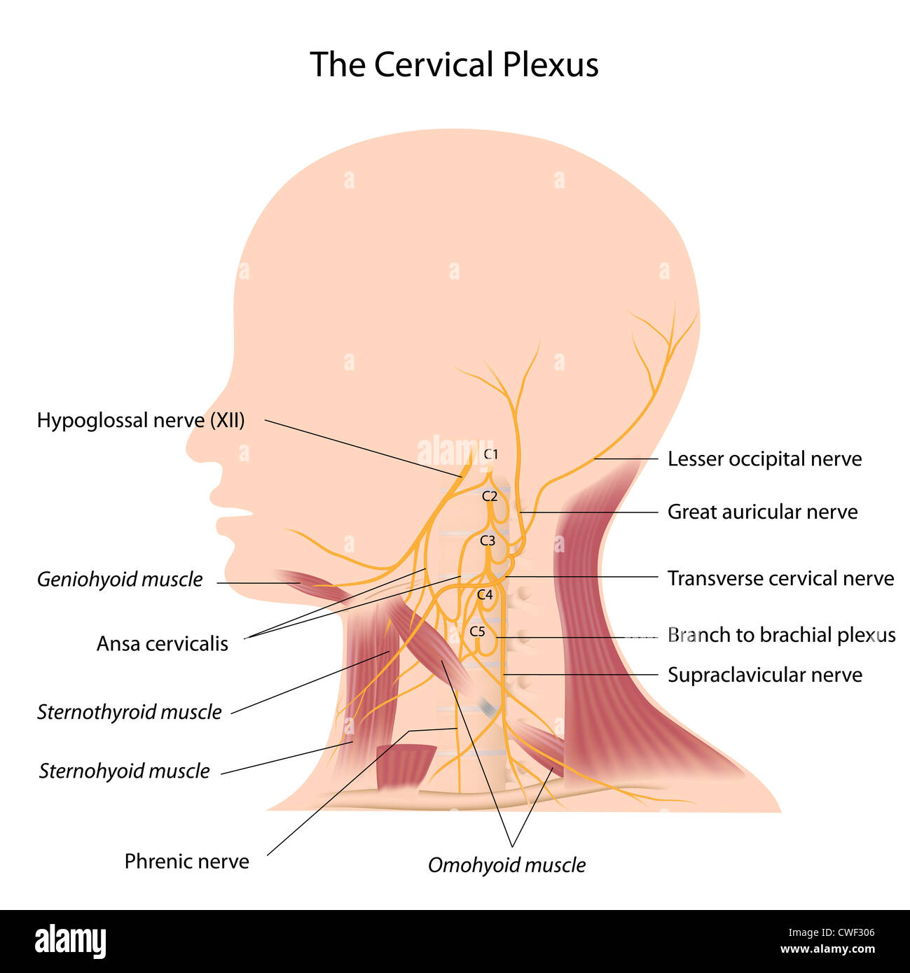 Lesser Occipital Nerve Stock Photos & Lesser Occipital Nerve Stock ...