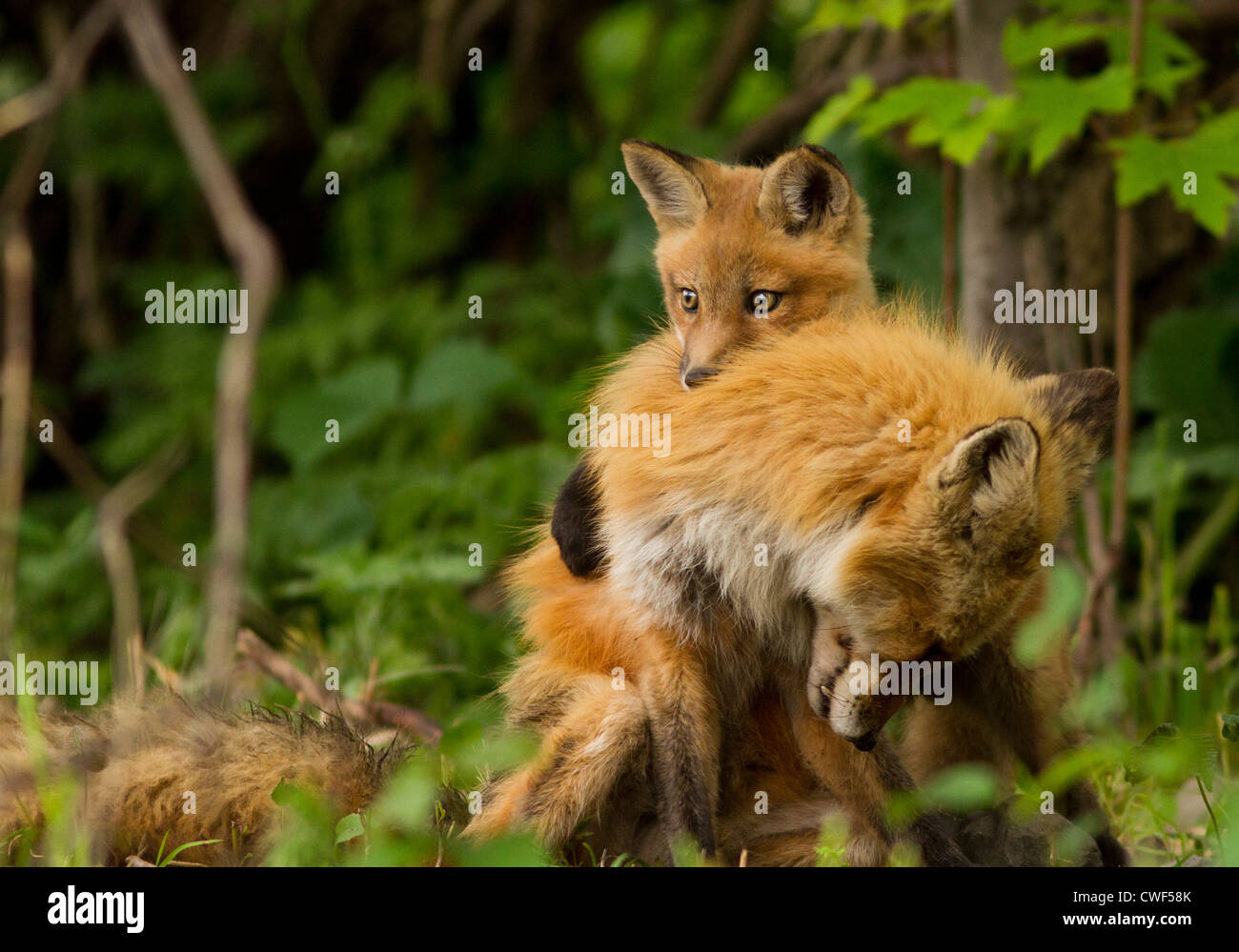 Red fox family (Vulpes vulpes) female and pup. - Stock Image