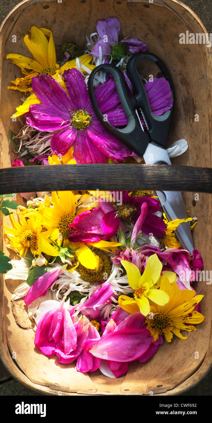 Dead headed flowers with scissors in a wooden trug - Stock Image