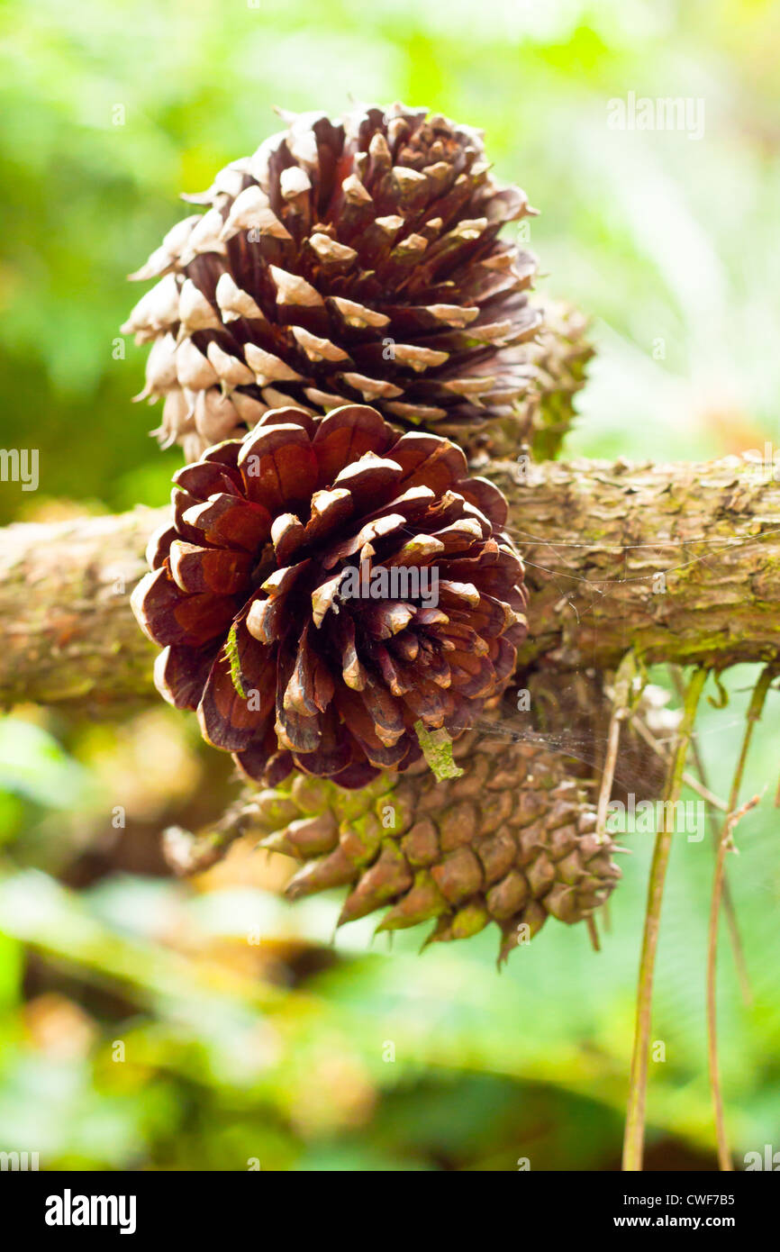 A bunch of pine cones growing on the branch of a tree in a forest - Stock Image