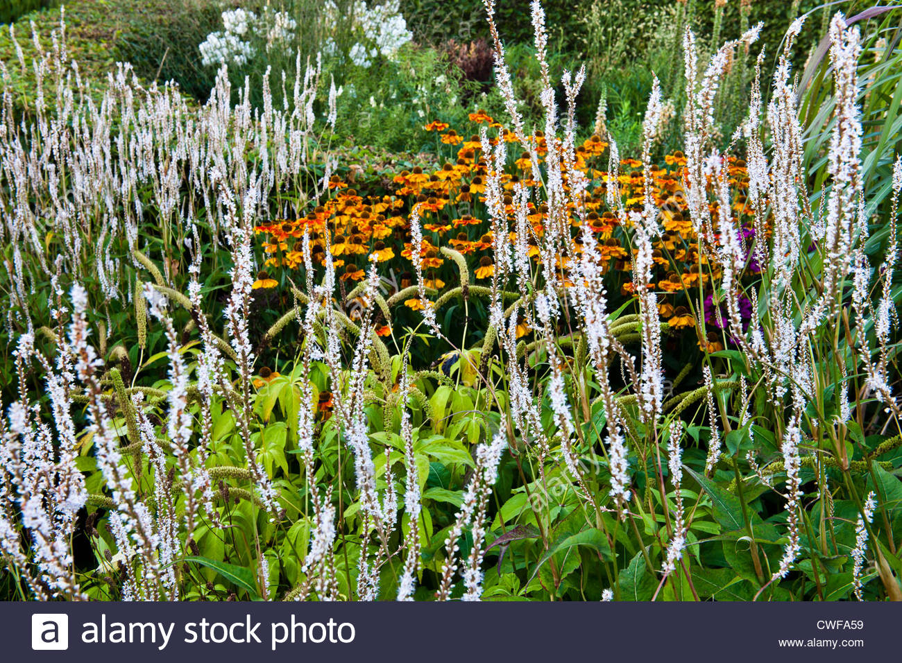 knotweed Persicaria amplexicaulis Alba common sneezeweed Helenium Ring of Fire autumnale polymorpha ornamental grasses - Stock Image
