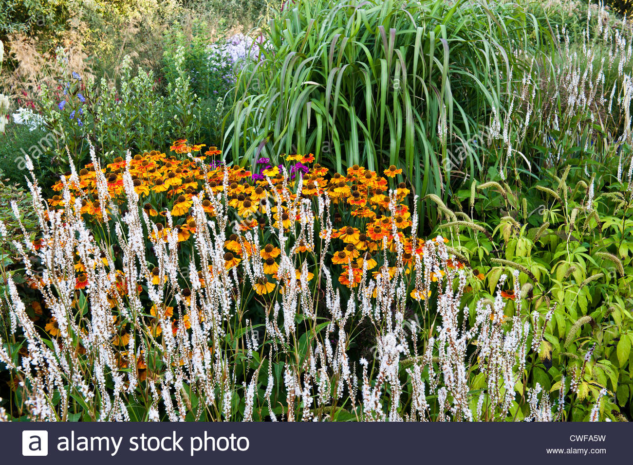 knotweed Persicaria polymorpha amplexicaulis Alba common sneezeweed Helenium Ring of Fire autumnale polymorpha ornamental - Stock Image