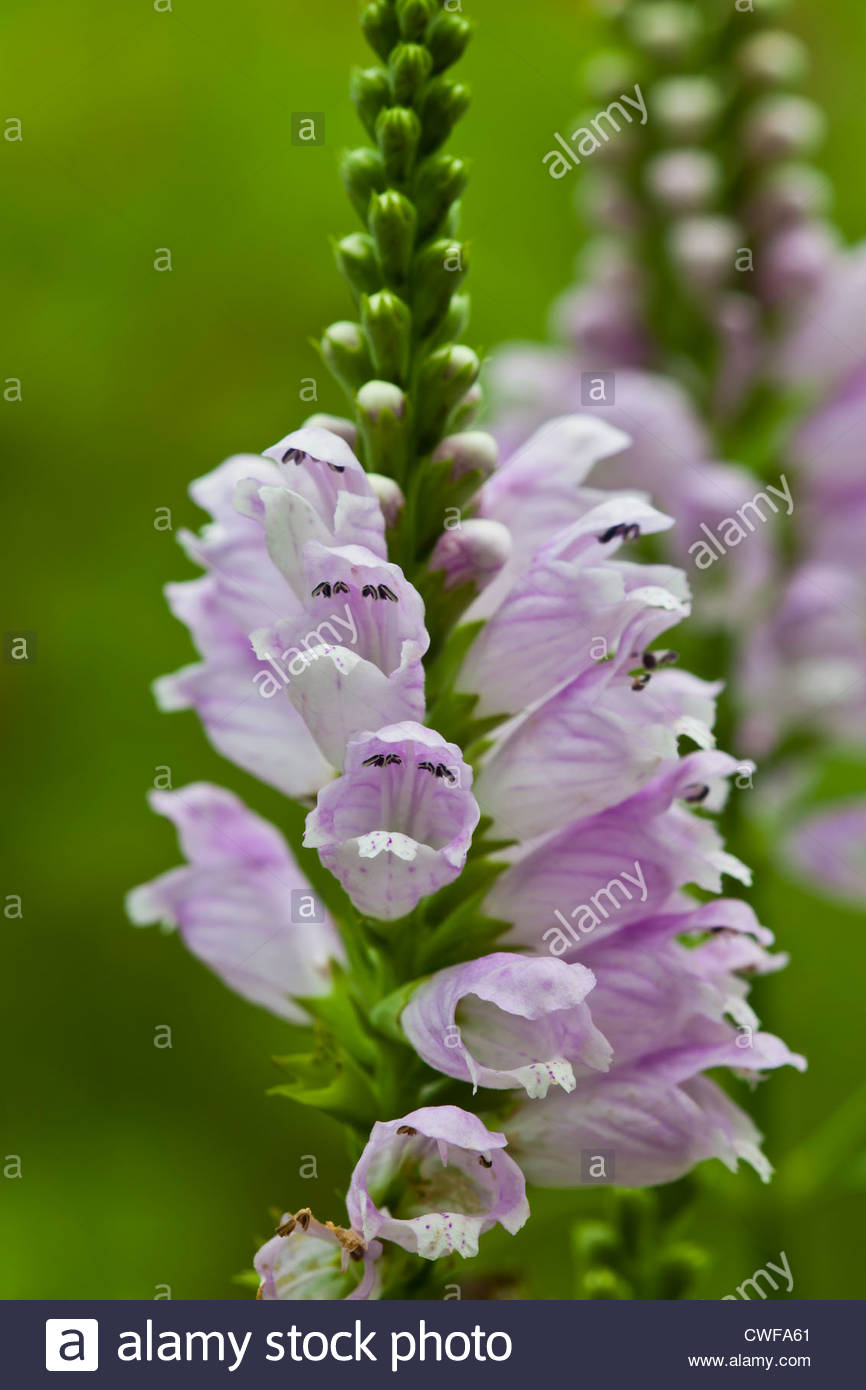 obedient plant Physostegia virginiana Rose Queen summer flower perennial violet lilac August garden - Stock Image