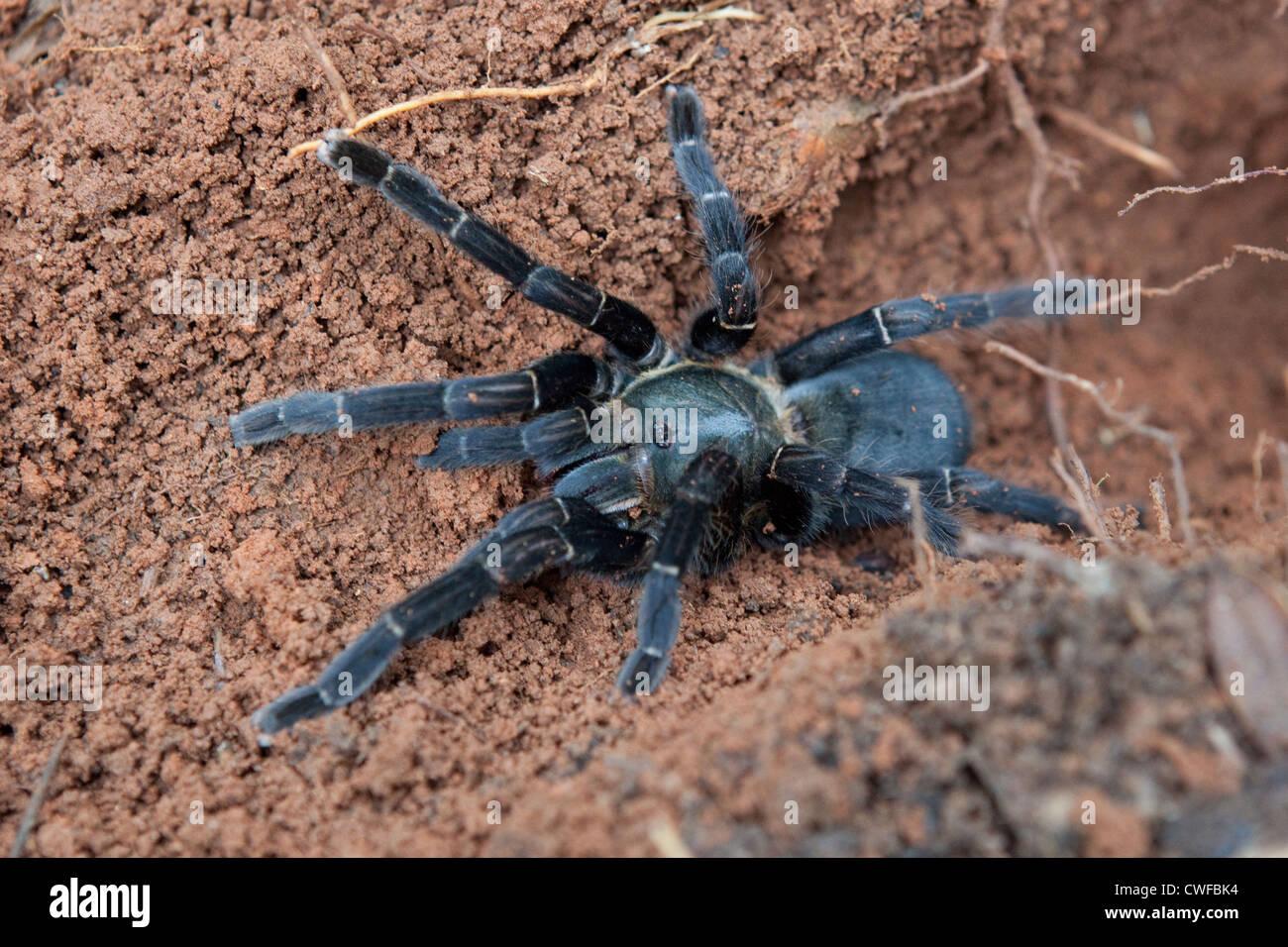 Tarantula - Stock Image