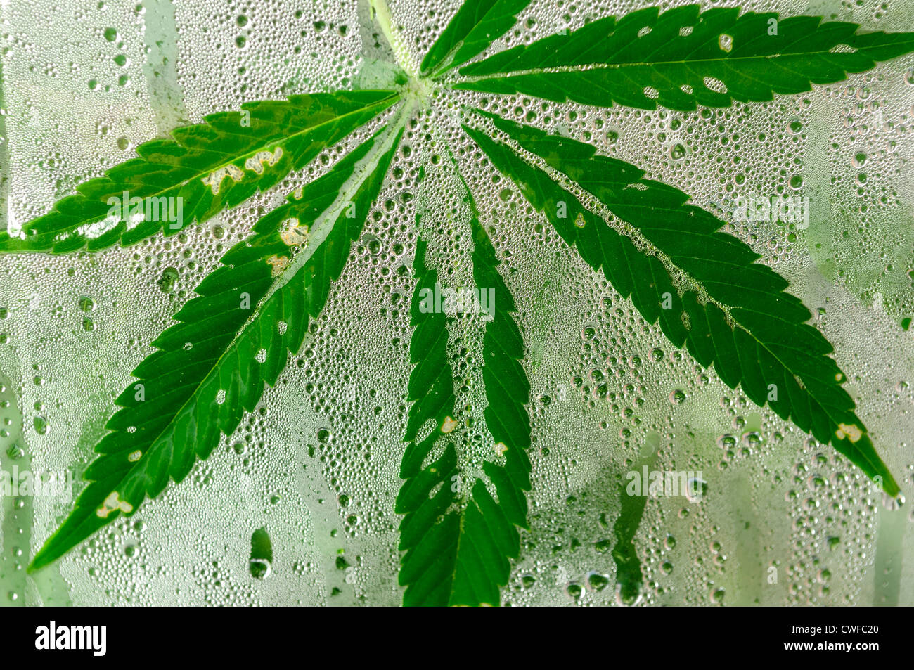 Cannabis,Marijuana Plant(hemp) Growing in an polythene green house. - Stock Image
