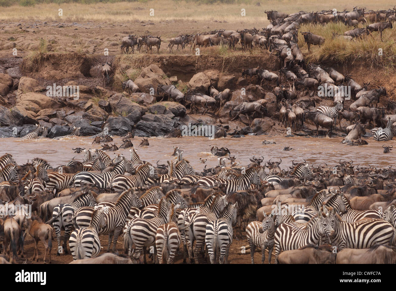 Wildebeest (plural wildebeest or wildebeests, gnu) migration in Masai Mara National Park, Nairobi, Kenya Stock Photo