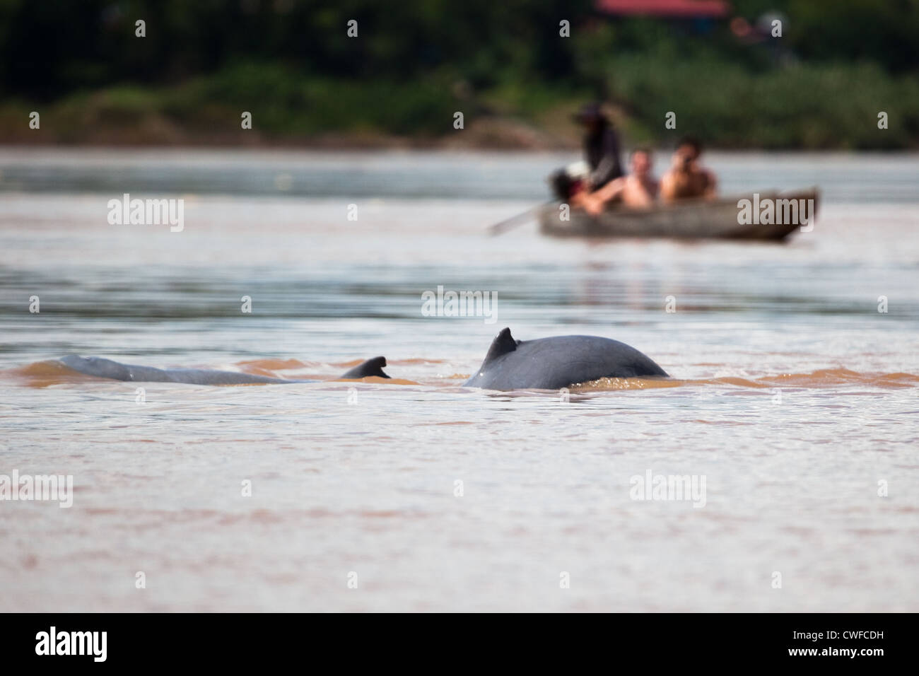 Irrawaddy dolphin watching in the Mekong River - Stock Image