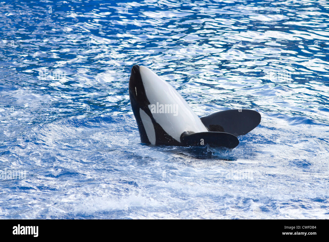 Orca whale in the pool at Seaworld Orlando Fl - Stock Image