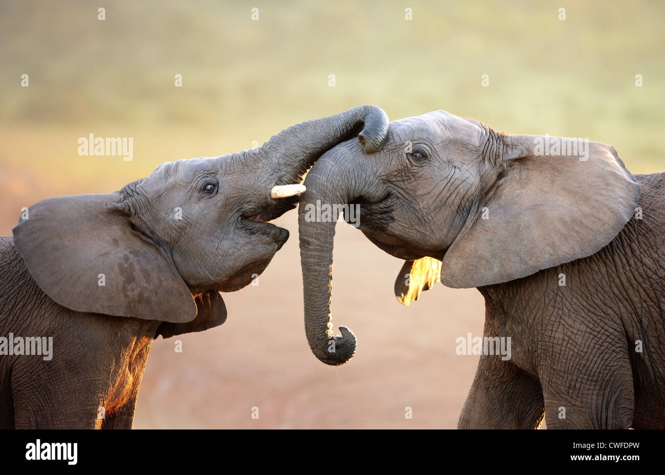 Elephants touching each other gently (greeting) - Addo Elephant National Park - South Africa - Stock Image