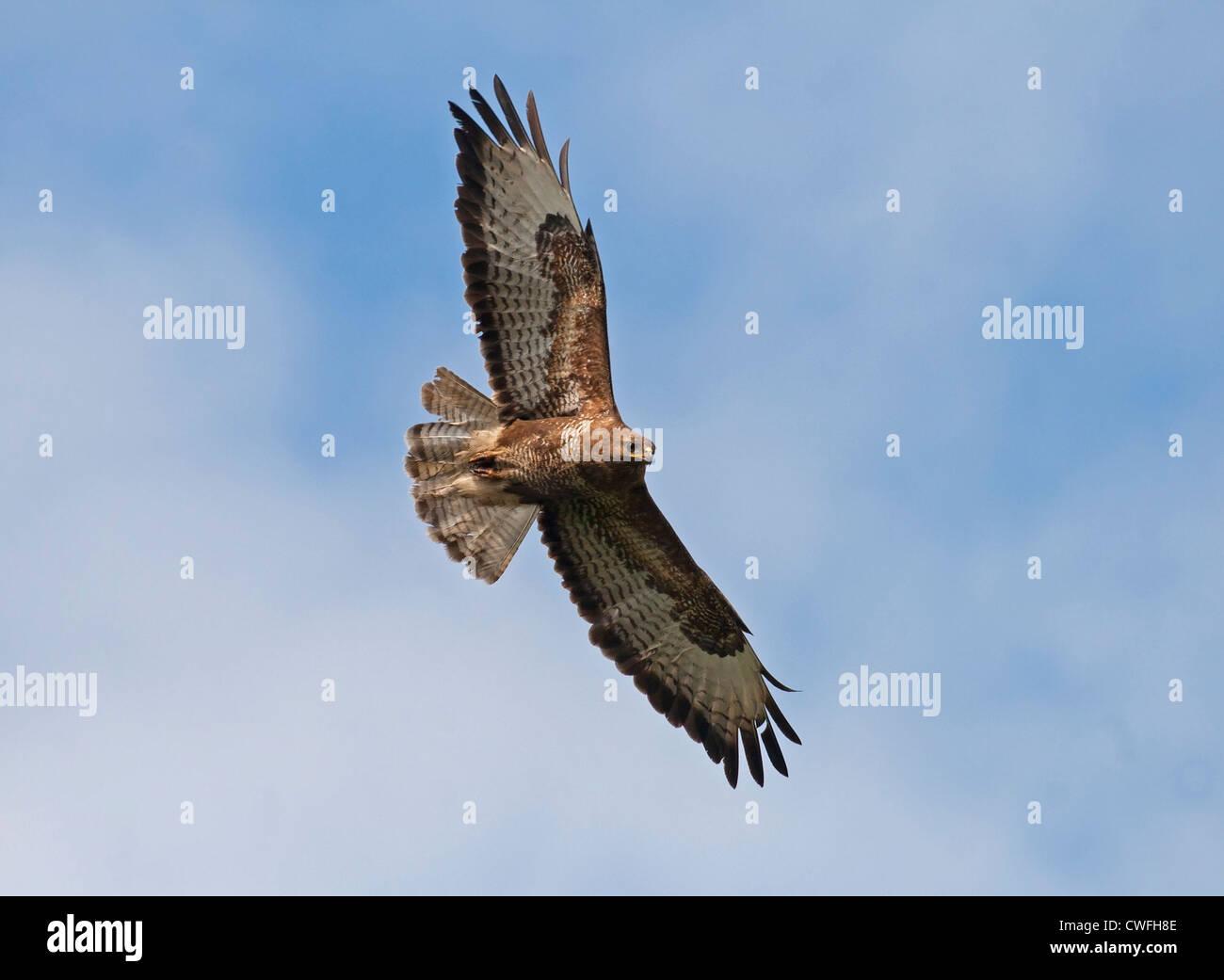 Buzzard soaring - Stock Image