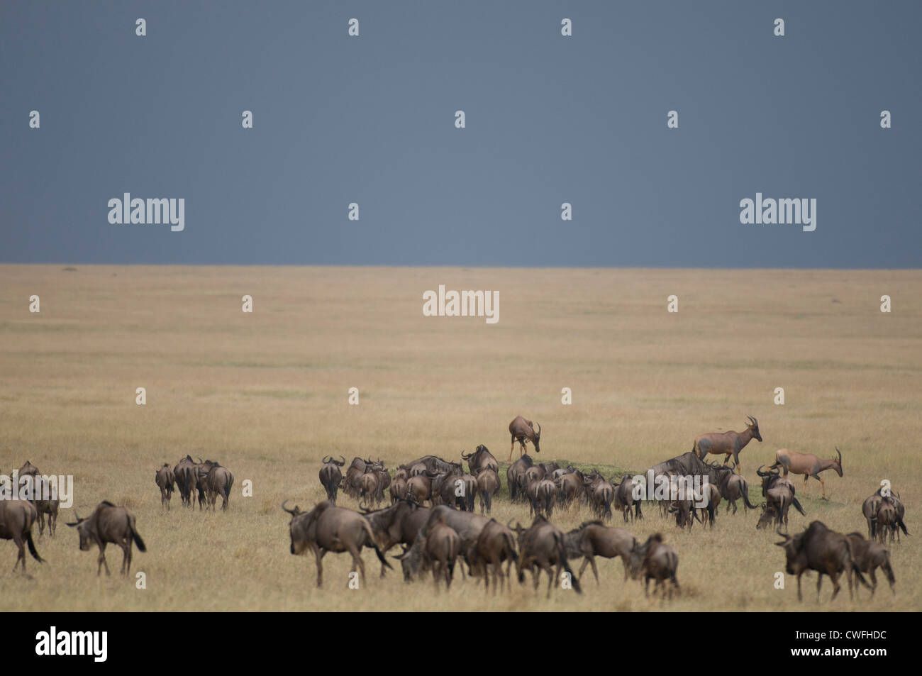 Wildebeeste in the Masai Mara - Stock Image