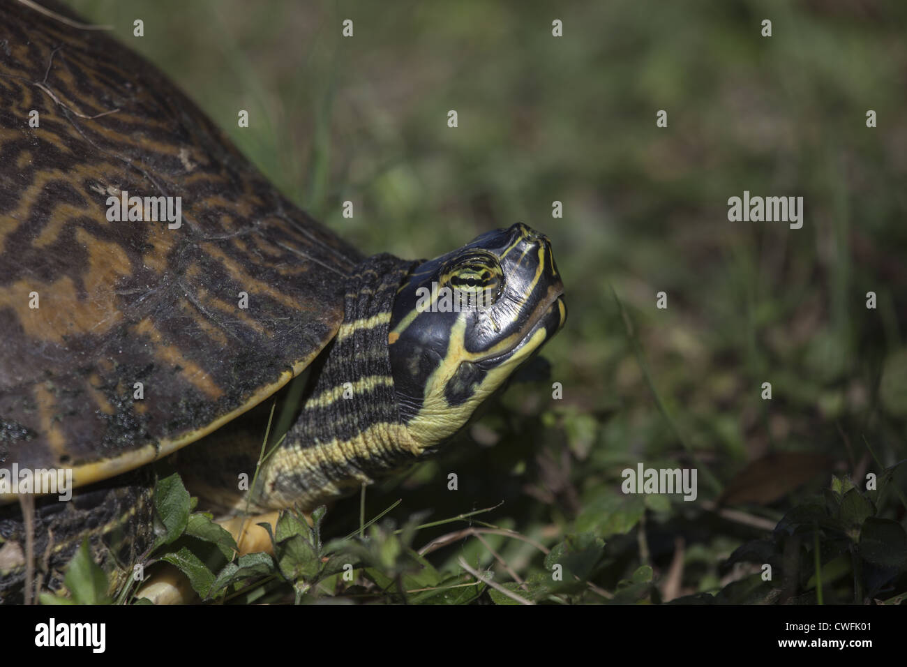 Turtle extending it's head and neck out of its shell Stock Photo