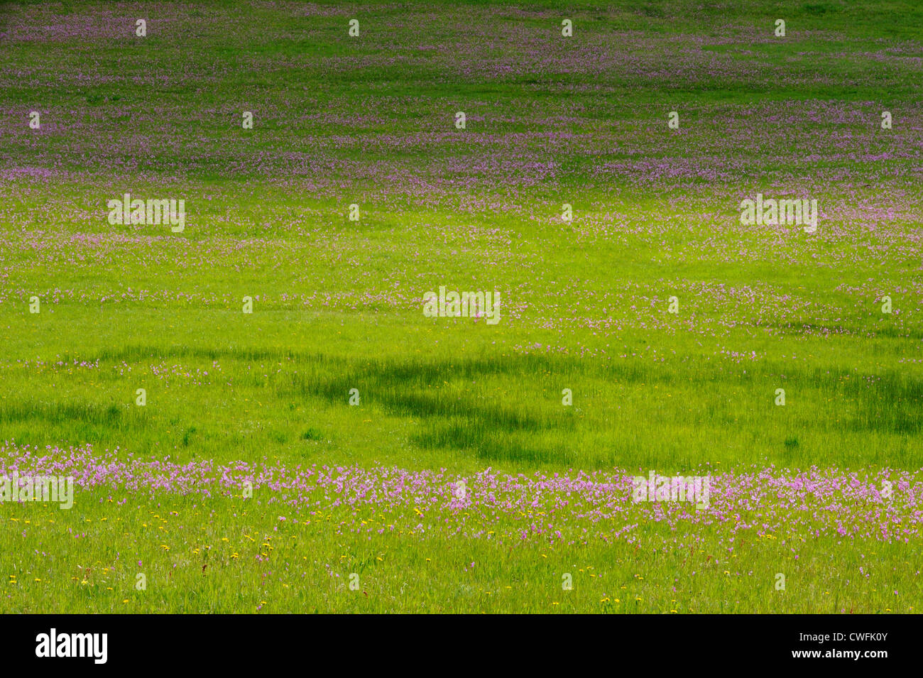 Shooting stars in bloom in pasture, Bozeman, Montana, USA Stock Photo