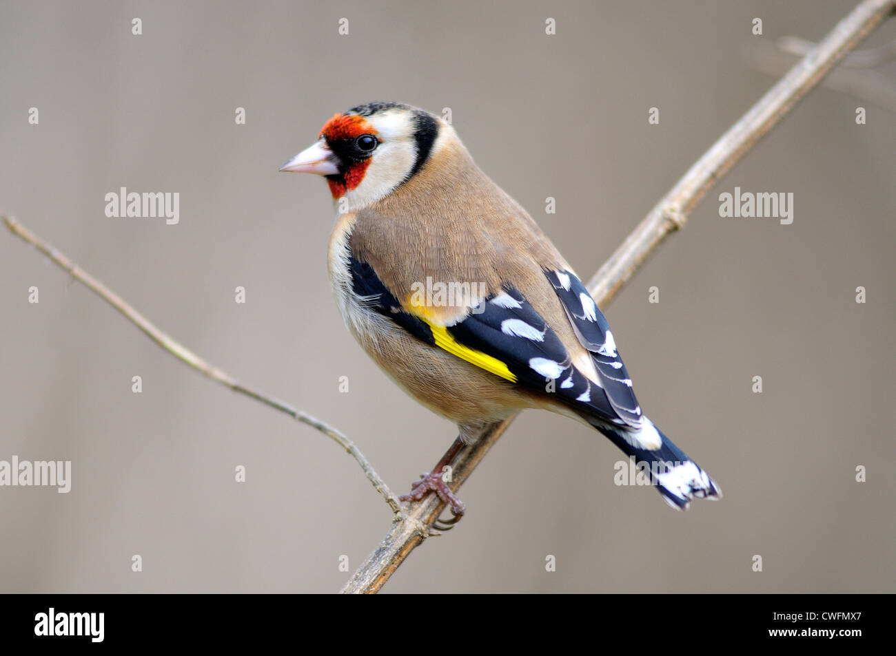 goldfinch carduelis finch bird garden seed eater - Stock Image
