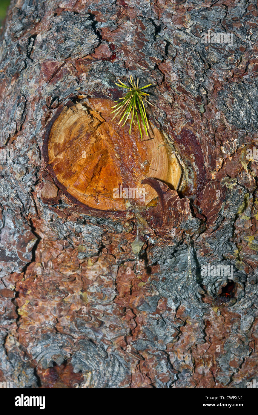 a detail of a conifer's trunk - Stock Image