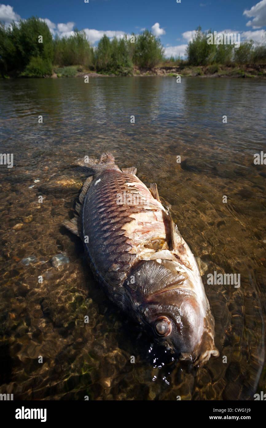 A dead carp (Cyprinus carpio carpio) in a state of decay in the Allier river (France). Carpe en décomposition - Stock Image
