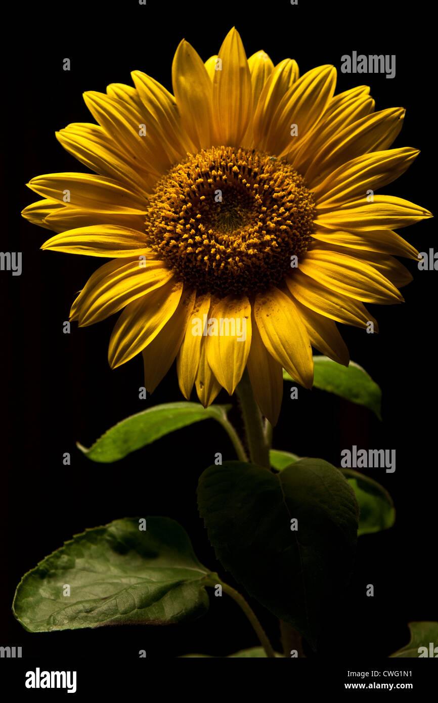 Sonnenblume, Schatten, Dunkle Blume, Sunflower - Stock Image