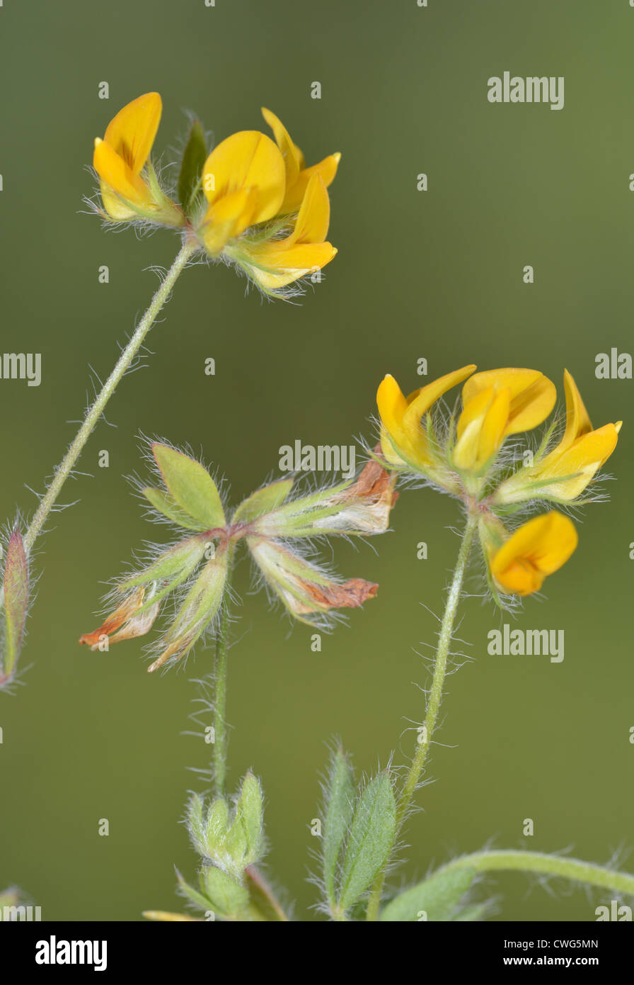 Hairy Bird's-foot Trefoil Lotus subbiflorus (Fabaceae) - Stock Image